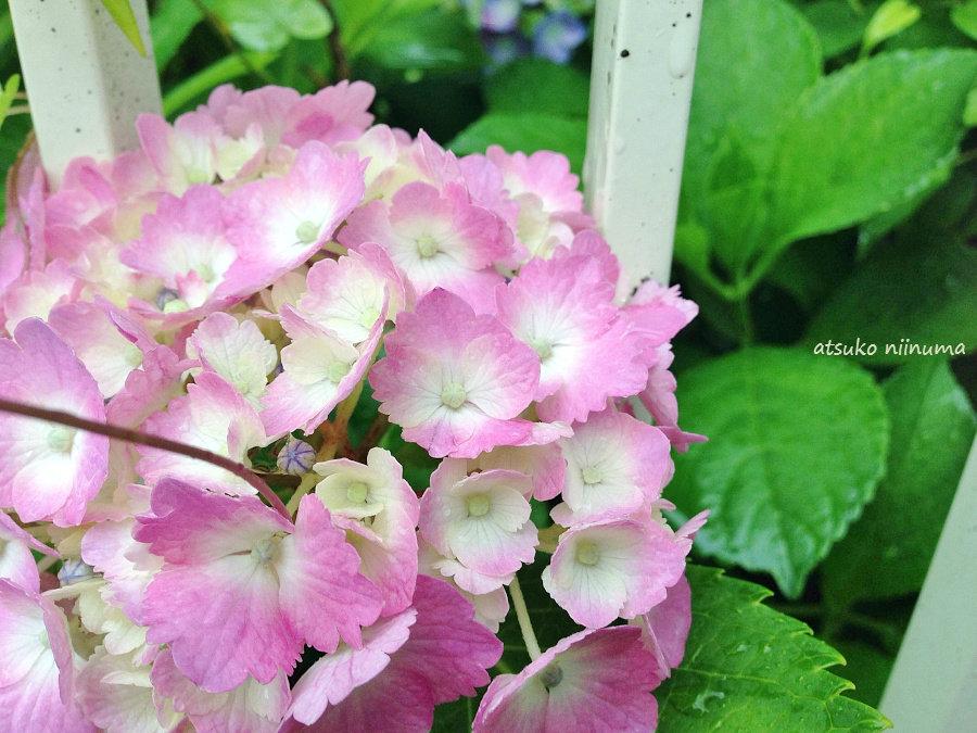 紫陽花 土によって色が変わる