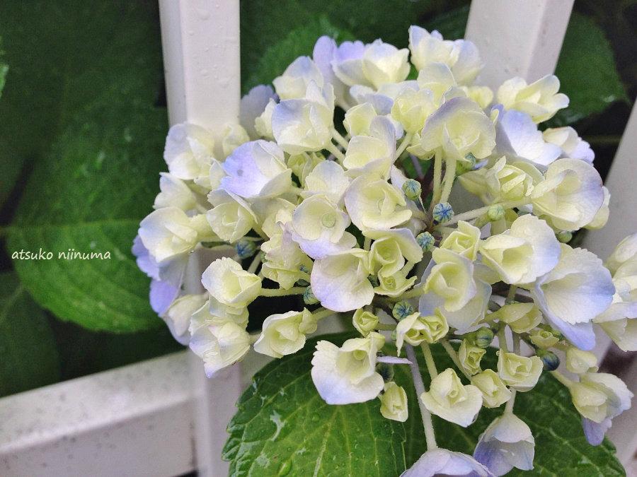 紫陽花 咲き始めは白い