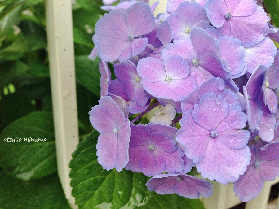 我が家の紫陽花 紫陽花の魅力