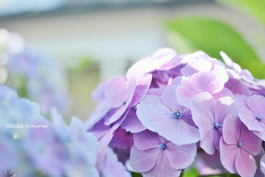 紫陽花 キャノン F40 f2.8 パンケーキレンズ