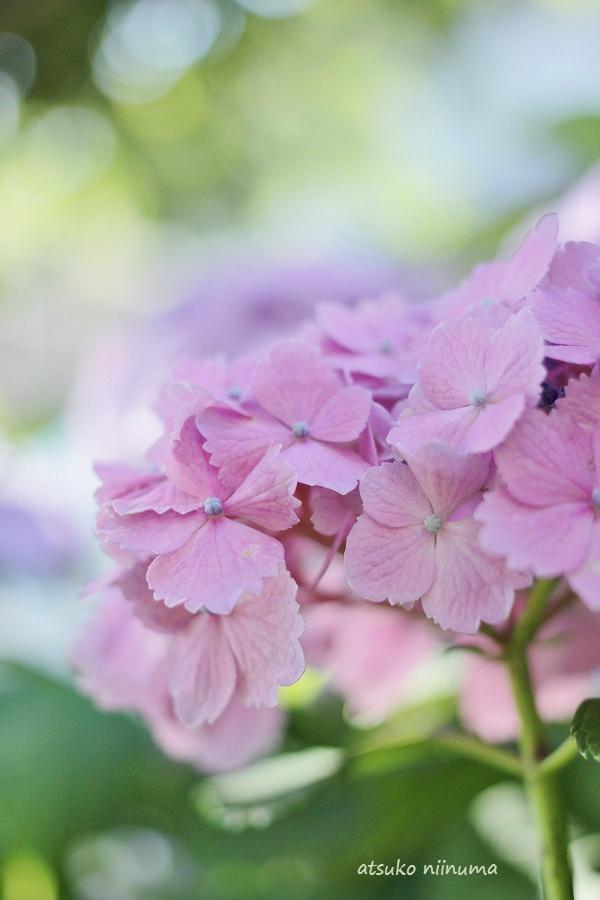 紫陽花 キャノン F40 パンケーキレンズ